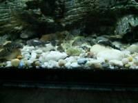 T bar cichlid babies tropical fish