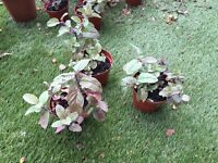 Chocolate Mint plants 5 for sale