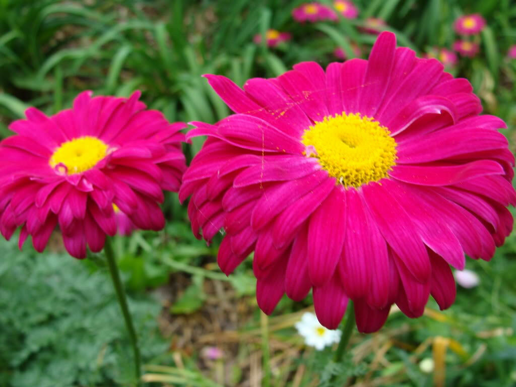 100 robinsons painted daisy chrysanthemum flower seeds 150 8 of 12 100 robinsons painted daisy chrysanthemum flower seeds izmirmasajfo