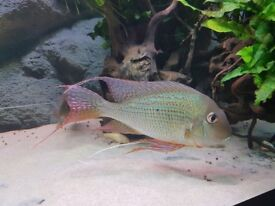 Group of 4 Geophagus Altifrons inc one pair