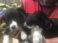 Border Collie pups for sale in Ayrshire