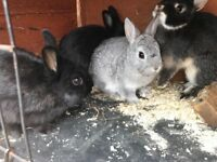 Neverland Dwarf baby rabbits