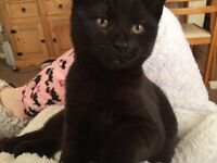 6 month old pure black kitten and extras