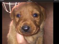 Bueatiful Labrador puppies