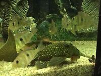 large blue and green phatom plecs
