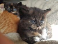 Fluffy female torti kitten