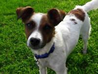 Jack russell, 1 year