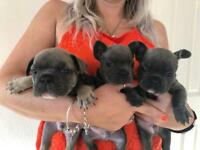 Kc registered boy Blue French bulldog puppies