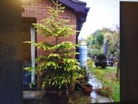 Matured Garden Conifer in stone pot