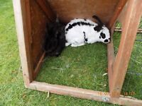 2 Male rabbits