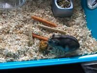 Russian dwarf hamster and cage