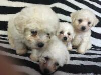Bichon-frise | Dogs & Puppies for Sale - Gumtree