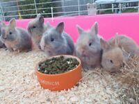 Cute blue Neverland dwarf mix baby bunnies