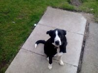 5 months old Border collie pup