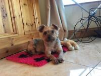 Gorgeous mini yorkie Yorkshire terrier