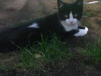 Kitten for sale £60