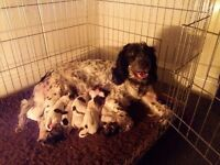 Springer spaniel pups kc reg ready to go end of may only 3 bitches left out a litter of 9