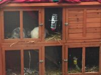 2 male rabbits brothers double cage, run,