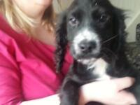 black and white cocker dog pup full vac and kc reg