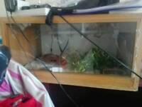 Baby Female corn snake