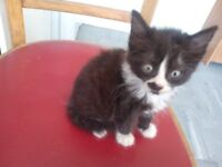 3 male balck and white kittens