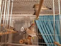 Beautiful family of zebra finches