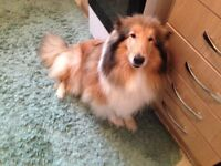 Rough collie bitch