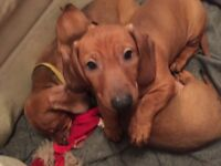 KC STANDARD DACHSHUND PUPPIES, BOTH INJECTIONS DONE