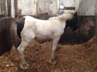 Cob foal