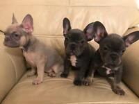 Puppy's French bulldogs