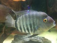 "heros sp santarem (Severum) Size (7"" by 3"")"