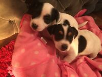 Jack Russell puppies shortleg dogs