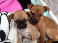 Gorgeous Jug puppies (pug x jack russell)