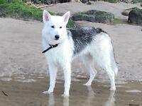 10 month old husky