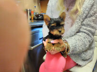 LOVELY YORKSHIRE TERRIER PUP (BOY) FOR SALE
