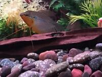 Large Pearl Gourami Tropical Fish