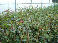 PHOTINIA fras Red Robin 3ft tall potted and caned £8 each or 2 for £15.Fantastic value Plant now