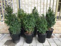 Buxus Hedge Plants