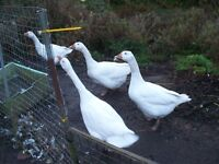 4 white pet geese for sale