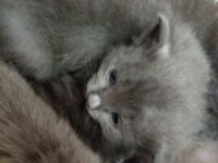 Blue cross maine coons