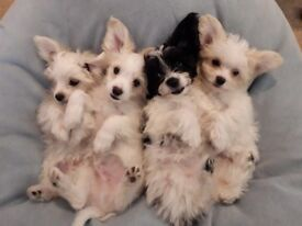 3/4 maltese x papillon pups for sale