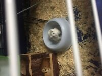 Hamsters and all equipment