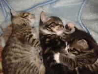 3 female tabby kittens