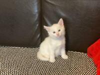 Adorable Angora kitten
