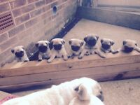 Top quality pug puppies for sale