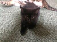 Black female kitten. Ready for new home.