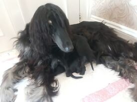 AFGHAN HOUND PUPPIES