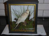 TAXIDERMY Collared Dove (Streptopelia decaocto)
