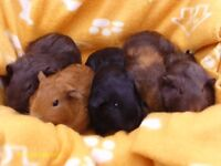 Baby Guinea Pigs for sale to good home