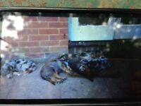 German sherpard x collie pups